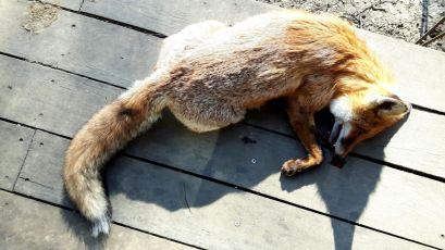 KFS Wed Fox