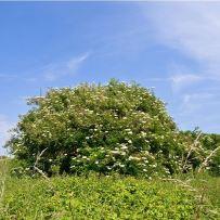 03 Elder bush
