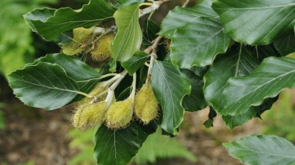 Beech 01 Nuts