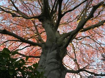 Beech Copper Spring