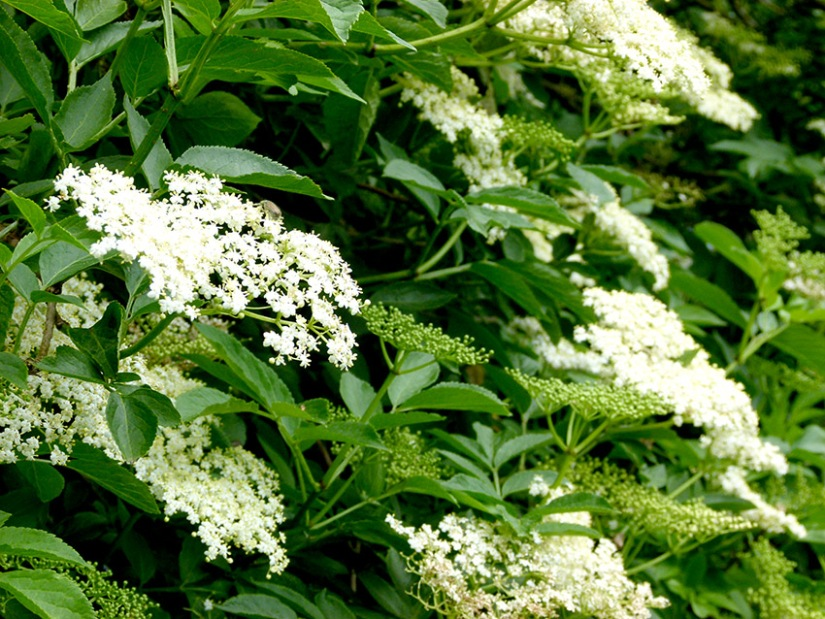 ElderflowerB850